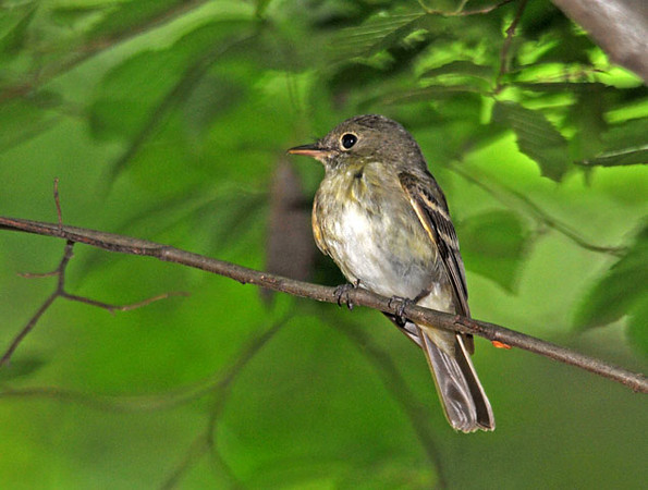 """<div class=""""jaDesc""""> <h4> Alder Flycatcher on Branch Near Nest - June 2010 </h4> <p> Before this female Alder Flycatcher flew to her nest, she posed nicely on a branch in front of me.  My brother-in-law and I discovered the location of her nest after watching her movements for a few minutes.</p> </div>"""