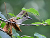 "<div class=""jaDesc""> <h4> Juvenile Great Crested Flycatcher - July 7, 2014</h4> <p>This juvenile Great Crested Flycatcher was diving out of a tree to catch bugs in my brother-in-laws backyard.  We could see flashes of a yellow breast, but had no idea what it was.  then it flew to a tree branch right in front of us and we were able to identify it. </p> </div>"