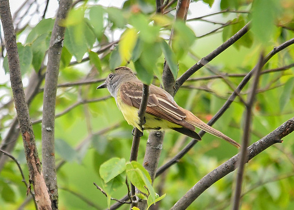 "<div class=""jaDesc""> <h4> Adult Great Crested Flycatcher - June 20, 2018</h4> <p>This is is the first time I have seen a Great Crested Flycatcher in our yard.  Unfortunately he never looked toward me before he flew off.</p> </div>"