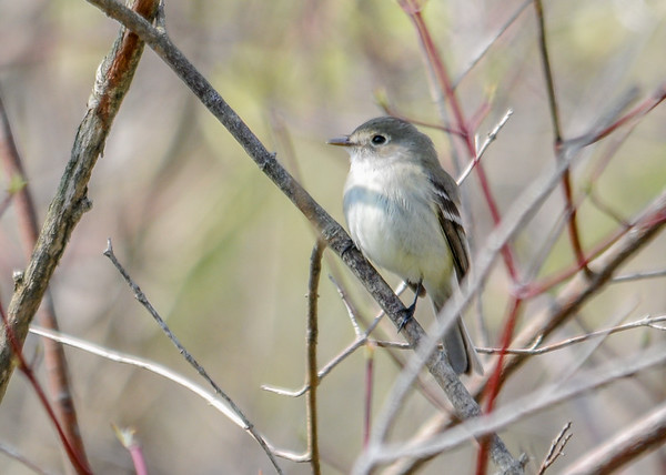 """<div class=""""jaDesc""""> <h4>Willow Flycatcher in Bush - May 8, 2016 </h4> <p>This Willow Flycatcher was perched in  a bush by the parking area at Goetchius Wetland Preserve in Brooktondale, NY.  It returned to the same bush several times after flying along the little stream that flows through the brush. </p> </div>"""