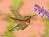 "<div class=""jaDesc""> <h4>Hummer in a Hover - June 7, 2009 </h4> <p> This male Ruby-throated Hummingbird spends most of the day perched in one of the serviceberry trees by our water garden pond where he can keep an eye on all the flowers in our backyard.  His favorite flowers are catmint, coral bells, cote d'azur, fuschia and wegelia.</p> </div>"