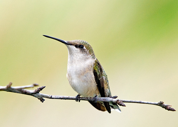 "<div class=""jaDesc""> <h4> Juvenile Ruby-throated Hummingbird Visiting Yard </h4> <p> August is when the juvenile Ruby-throated Hummingbirds begin visiting our yard.  The parents do not cut them any slack, they get treated just like an adult competing for nectar.  If they arrive at a plant to feed at the same time as the adult, they get chased aggressively with loud squeaking.</p> </div>"