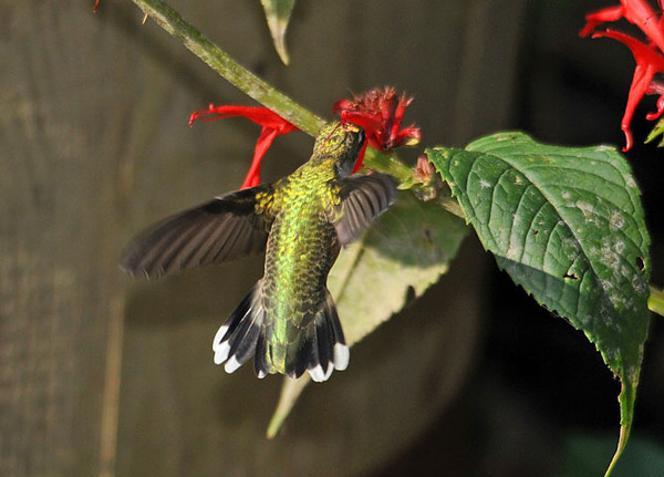"<div class=""jaDesc""> <h4> Female Ruby-throated Hummingbird at Monarda - August 19, 2010 </h4> <p> Each year the female Ruby-throated Hummingbird chases the male out of our yard about mid-summer.  She is still managing to get some nectar from the very beat up Monarda blooms.</p> </div>"