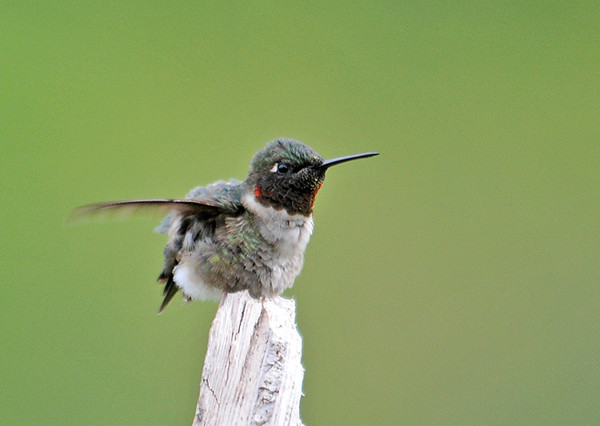 "<div class=""jaDesc""> <h4> Male Ruby-throated Hummingbird - 1st of Year - May 17, 2010 </h4> <p> We have one male Ruby-throated Hummingbird who is now visiting our yard regularly after arriving a week ago.  The only flowers in bloom are catmint which he likes.  He is also visiting the sap-wells that the Yellow-bellied Sapsuckers have drilled in our willow tree.</p> </div>"