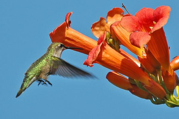 "<div class=""jaDesc""> <h4>Female Hummer at Trumpet Vine - July 29, 2006 </h4> <p>The Ruby-throated Hummingbirds are still around.  I see them about 3 times a day.  The trumpet vine is one of their current sources of nectar.</p> </div>"