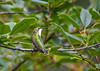 "<div class=""jaDesc""> <h4>Female Hummingbird in Cherry Tree - August 10, 2016 </h4> <p> We have three Ruby-throated Hummingbirds again this year - 2 adults and 1 juvenile female - that spend much of their energy chasing each other around.  I think this is the adult female taking a break from nectaring in our hosta bed.</p> </div>"
