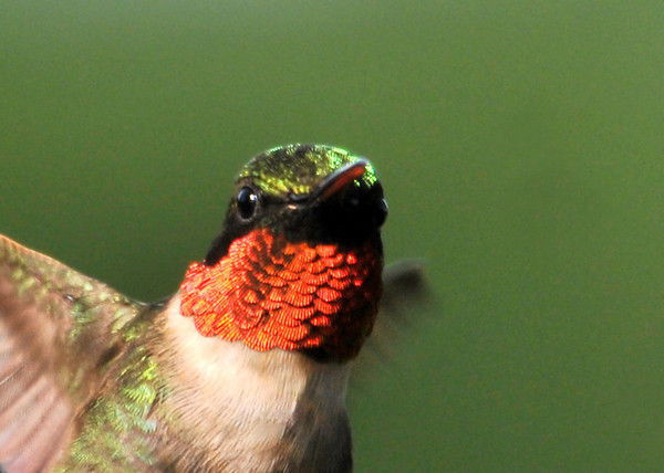 """<div class=""""jaDesc""""> <h4> Male Ruby-throated Hummingbird Real Close - June 20 2014 </h4> <p> I was enjoying my morning tea on the porch this morning; enjoying some quality time with the Hummingbirds.  We now have 2 males and 1 female - lots of serious turf warring going on. </p> </div>"""