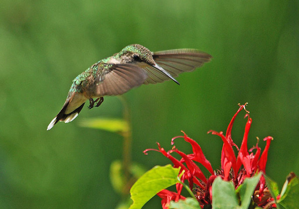 "<div class=""jaDesc""> <h4> Female Ruby-throated Hummingbird at Monarda - July 27, 2010 </h4> <p> We have a male and female Ruby-throated Hummingbird competing for the nectar plants in our yard.  When they show up at the same plants, there is a lot of chasing and squeaking.  I'm hoping to see some juveniles soon.</p> </div>"