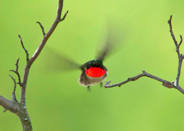 "<div class=""jaDesc""> <h4> Ruby-throated Hummingbird In-bound to Feeder - June 18, 2012 </h4> <p>He just launched himself off the perch branch on his way to the feeder. </p> </div>"