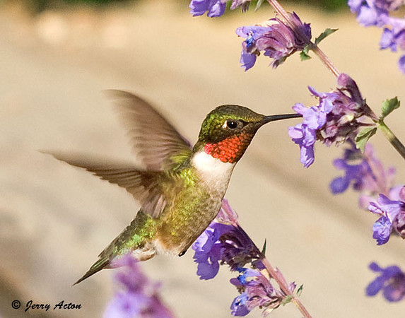 "<div class=""jaDesc""> <h4>Ruby-throated Hummingbird at Catmint Flowers - June 7, 2009 </h4> <p> The male Ruby-throated Hummingbird's favorite plant in our backyard right now is a catmint that is covered with hundreds of little purple flowers.  Since the plant is right beside my back porch, I don't have to chase him all over the yard to get photos.</p> </div>"