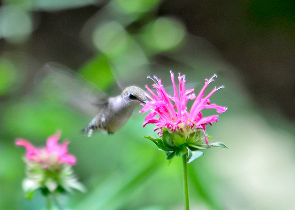 "<div class=""jaDesc""> <h4>Female Hummingbird at Pink Bee Balm - July 9, 2014 </h4> <p> My sister-in-law has a patch of pink bee balm in her backyard.  I managed to catch the female hummingbird getting nectar at one of the blooms</p> </div>"
