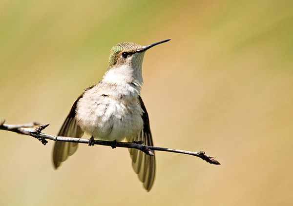 """<div class=""""jaDesc""""> <h4> Juvy Ruby-throated Hummingbird Fluffing Feathers - August 2, 2008</h4> <p> This juvenile Ruby-throated Hummingbird was grooming.  He finished off with a robust shake and fluff of his entire body.</p> </div>"""