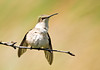 "<div class=""jaDesc""> <h4> Juvy Ruby-throated Hummingbird Fluffing Feathers - August 2, 2008</h4> <p> This juvenile Ruby-throated Hummingbird was grooming.  He finished off with a robust shake and fluff of his entire body.</p> </div>"