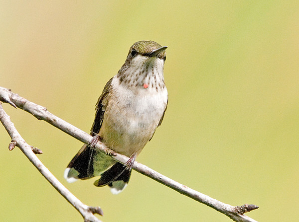 "<div class=""jaDesc""> <h4>Juvenile Male Ruby-throated Hummingbird - August 7, 2008 </h4> <p>Until today, I thought both of our juvenile Hummingbirds were females.  Notice the tiny patch of red on this guy's throat.</p> </div>"