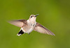 "<div class=""jaDesc""> <h4> Female Hummingbird Hovering - August 11, 2011</h4> <p> This female Ruby-throated Hummingbird hovered in front of several hanging baskets trying to decide which flowers looked best.</p> </div>"
