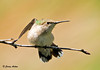 "<div class=""jaDesc""> <h4> Mother Hummingbird - Warning Pose - August 2, 2008</h4> <p>If Mom sees one of her juvenile Hummingbirds headed toward her flower patch, this is the warning pose she gives.  They are on their own now.</p> </div>"