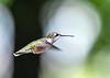 "<div class=""jaDesc""> <h4>Female Hummingbird Hovering Wings Forward - September 8, 2018 </h4> <p></p> </div>"