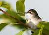 "<div class=""jaDesc""> <h4> Juvenile Hummingbird Hiding - August 22, 2011 </h4> <p> This juvenile Ruby-throated Hummingbird hides out in the crabapple tree next to the hummingbird feeder.  After mom makes a stop at the feeder, he darts down to get a quick drink before she comes back and squeaks at him to move.</p> </div>"