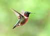 """<div class=""""jaDesc""""> <h4>Male Ruby-throated Hummingbird 1st of Year - May 24, 2020 </h4> <p> </p> </div>"""