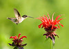 "<div class=""jaDesc""> <h4>Ruby-throated Hummingbird at Monarda Bloom - July 7, 2008 </h4> <p> This is one of their favorite sources of nectar.  They visit every spike.</p> </div>"