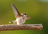 "<div class=""jaDesc""> <h4> Juvenile Hummingbird Resting - August 22, 2011 </h4> <p> Mom Ruby-throated Hummingbird and her 2 juveniles are buzzing around our yard all day long squeaking at each other about who gets first access to each flower patch.  This juvenile decided to take a break from the action.</p> </div>"