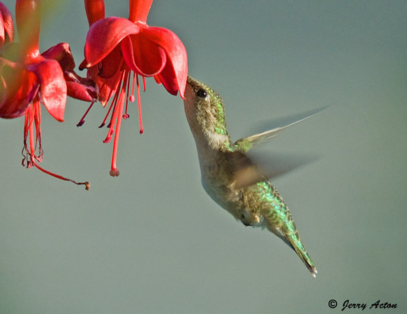"<div class=""jaDesc""> <h4>Female Ruby-throated Hummingbird at Fuschia - May 21, 2009 </h4> <p>I was expecting the return of the male Hummingbird when the female showed up for the first time.  She has the light colored throat.  This fuschia plant is a favorite for both the male and female.</p> </div>"