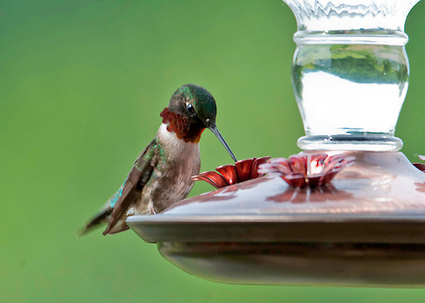"<div class=""jaDesc""> <h4> Ruby-throated Hummingbird Sipping - June 18, 2012 </h4> <p> Mr. Ruby-throated Hummingbird has a mate, but when it comes to sharing the feeder, they aggressively chase each other.</p> </div>"
