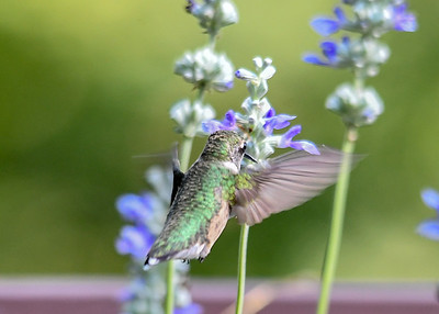 Female Hummingbird at Salvia - September 22, 2019