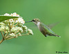 "<div class=""jaDesc""> <h4> Female Ruby-throated Hummingbird at Viburnum - August 14, 2009 </h4> <p> We now have 3 female ruby-throated hummingbirds in our yard.  I suspect it is an adult and 2 juveniles.  They fight sometimes if they arrive at the same plant together, but otherwise they seem to peacefully co-exist.</p> </div>"