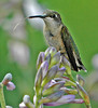 "<div class=""jaDesc""> <h4>Juvenile Ruby-throated Hummingbird with Sipper Out - August 4, 2006 </h4> <p>I managed to catch this juvenile male Ruby-throated Hummingbird with his sipper extended as he perched on a hosta bloom.</p> </div>"