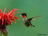 "<div class=""jaDesc""> <h4> Male Ruby-throated Hummingbird at Bee Balm - July 17, 2009 </h4> <p> The bee balm patch is the Hummingbird's favorite nectar source right now.   </p> </div>"