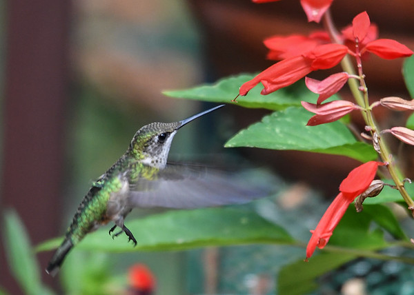 "<div class=""jaDesc""> <h4>Female Hummingbird Hovering at Flowers - September 9, 2016 </h4> <p> This busy female Ruby-throated Hummingbird was sampling all the flowers on my sister-in-laws deck.</p> </div>"