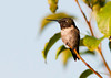 """<div class=""""jaDesc""""> <h4> Dad Hummingbird Resting - August 16, 2012 </h4> <p> Our male Ruby-throated Hummingbird likes to rest on a bare branch in one of our crabapple trees.  It is right above his favorite patch of monarda flowers.  His ruby throat is black because the sun is not shining on it at the right angle.</p> </div>"""