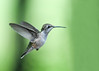 """<div class=""""jaDesc""""> <h4>Female Hummingbird Hovering Wings Back - September 8, 2018 </h4> <p>She was checking out some blooms for nectar.</p> </div>"""
