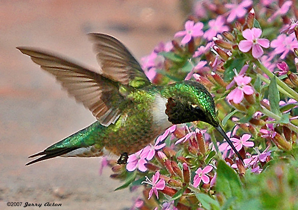 "<div class=""jaDesc""> <h4>Hummingbird at Cote D'azur - May 29, 2006 </h4> <p> This male Ruby-throated Hummingbird was making the rounds of the little pink blossoms on our bed of cote d'azur plants.  He would take short breaks perched in a nearby locust tree. His throat appears black in this light exposure. </p> </div>"