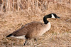 """<div class=""""jaDesc""""> <h4>Canada Goose Grazing - April 5, 2013 </h4> <p>This Canada Goose was in a group of 6 that were walking along the grassy shoulder of the road by the main pool at Montezuma Wildlife Refuge.  She seemed content to have her picture taken.</p> </div>"""