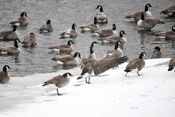 """<div class=""""jaDesc""""> <h4>Canada Goose Wing Flap - December 30, 2017 </h4> <p>At the completion of a grooming session, a goose would flap its wings 2 or 3 times.  Susquehanna River, Nichols, NY</p> </div>"""
