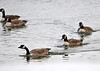 """<div class=""""jaDesc""""> <h4>Canada Goose Line-up - November 25, 2013 </h4> <p>These three Canada Geese stayed in this line as they paddled around the main pool at Montezuma NWR. </p> </div>"""