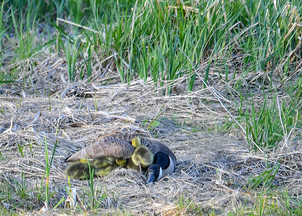 "<div class=""jaDesc""> <h4>Goslings Under Mom's Wing - May 8, 2018</h4> <p>There are seven Goslings under Mom's wing; the last one is trying to get under with them. Dryden Lake, NY.</p> </div>"