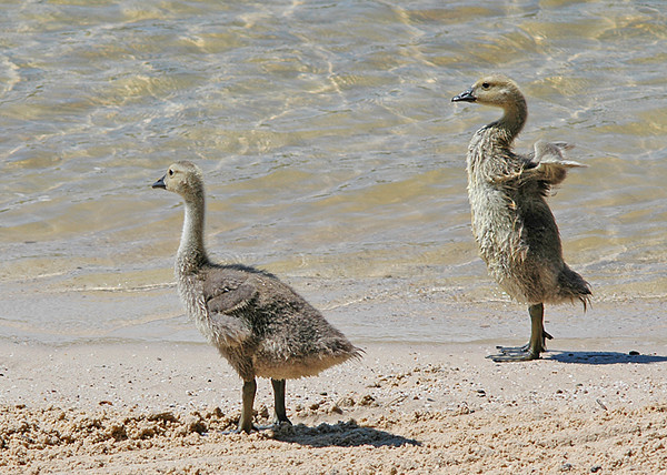 """<div class=""""jaDesc""""> <h4> Canada Gosling Testing Her Wings - June 2008 </h4> <p> These 2 Canada Goslings moved off a bit on their own.  One of them kept testing her wings.</p> </div>"""