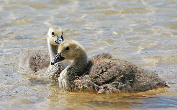 """<div class=""""jaDesc""""> <h4> Canada Goslings Floating Around - June 2008</h4> <p> I really enjoyed watching this pair of Canada Goslings floating about in the water.  These two stuck very close together while separated from mom.</p> </div>"""