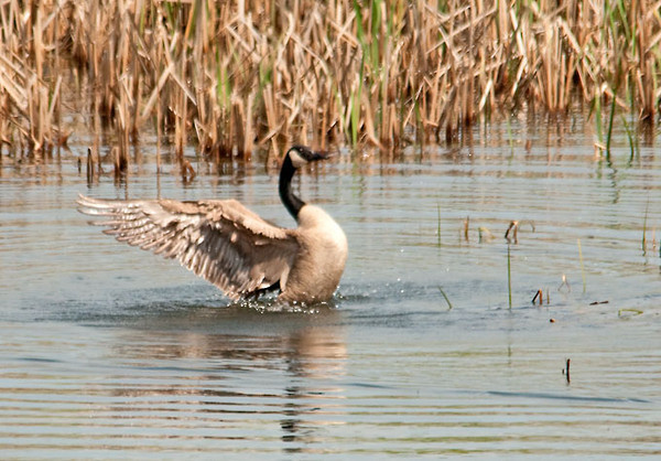 """<div class=""""jaDesc""""> <h4> Male Canada Goose Celebrating - April 2012 </h4> <p> The male Canada Goose always likes to celebrate after a mating session.  This guy did 3 flamboyant wing flap sequences.</p> </div>"""