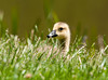 "<div class=""jaDesc""> <h4> Canada Gosling Resting in Grass - May 17, 2012 </h4> <p> This is one of 3 Canada Goslings that were grazing with their mom.  Every few minutes they would plop down in the grass for a rest.</p> </div>"