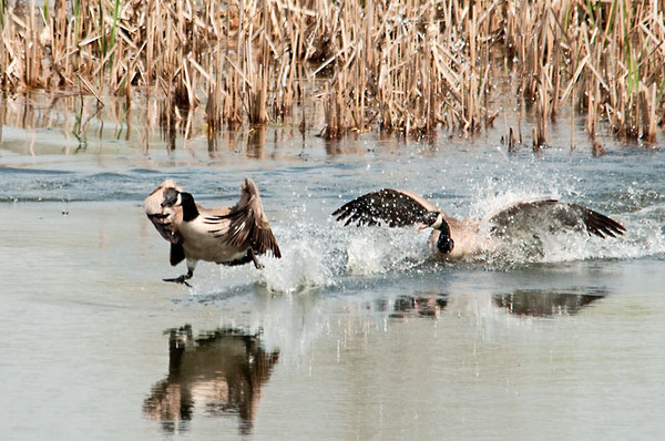"""<div class=""""jaDesc""""> <h4> Canada Geese - The Mating Chase - April 2012 </h4> <p> It was very quiet and peaceful at the marsh when all of a sudden there was an explosion of flapping and loud honking.  A male Canada Goose was chasing a female.  The female looked like she was walking on the water while he splashed noisily from behind.  He chased her into a secluded area and all went quiet again for a few minutes.</p> </div>"""