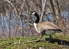 "<div class=""jaDesc""> <h4>Banded Canada Goose - April 13, 2016 </h4> <p>A pair of very tame Canada Geese were grazing along a back road  by the Susquehanna river in Owego, NY.  They both had bands on their legs.</p> </div>"
