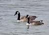 "<div class=""jaDesc""> <h4> Canada Geese Mating - March 26, 2014 - Video Attached</h4> <p> I tracked this pair of Canada Geese hanging very close together as they entered Owego Creek from the Susquehanna River in Owego, NY.  I decided to get some video of them splashing and grooming together, but I ended up capturing a very different scene.  Video is a typical mating sequence with the honking and bathing celebration at the end (a bit rough on the head dunk though).   </p>  </div> <center> <a href=""http://www.youtube.com/watch?v=DpnmH8WAm0M""  style=""color: #0000FF"" class=""lightbox""><strong> Play Video</strong></a>"