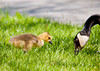"<div class=""jaDesc""> <h4> Canada Gosling - What's Next Mom? - May 17, 2012</h4> <p> As I pulled into Stewart Park in Ithaca, NY, I noticed a mother Canada Goose and her three goslings grazing on the lawn.  With all the daily visitors at the park, they are very tame.  So I was able to get within 20 feet without them being worried.</p> </div>"
