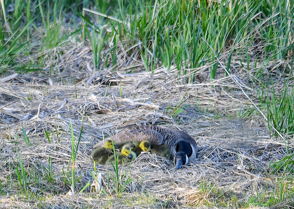 """<div class=""""jaDesc""""> <h4>Goslings Snuggled with Mom - May 8, 2018</h4> <p>The Goslings are yellow like this for only about a week before they start turning more tan and brownish. Dryden Lake, NY.</p> </div>"""