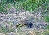 "<div class=""jaDesc""> <h4>Goslings Snuggled with Mom - May 8, 2018</h4> <p>The Goslings are yellow like this for only about a week before they start turning more tan and brownish. Dryden Lake, NY.</p> </div>"