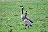 "<div class=""jaDesc""> <h4>Canada Geese Honking - April 26, 2016 </h4> <p>When Canada Geese start honking loudly, it is usually a signal that they are about to take off which they did 30 seconds later.</p> </div>"